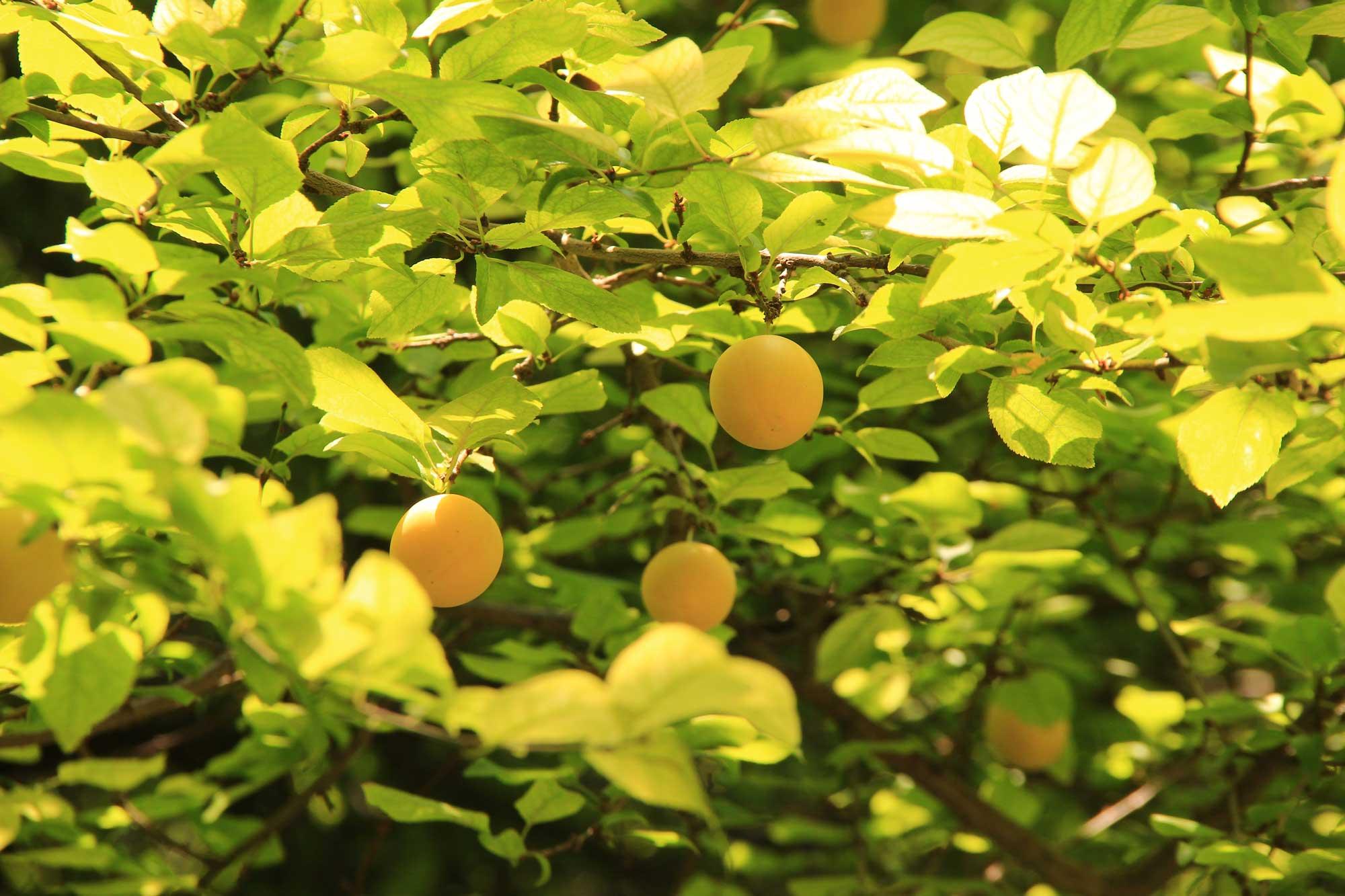 абрикосовые деревья прямо у монастыря