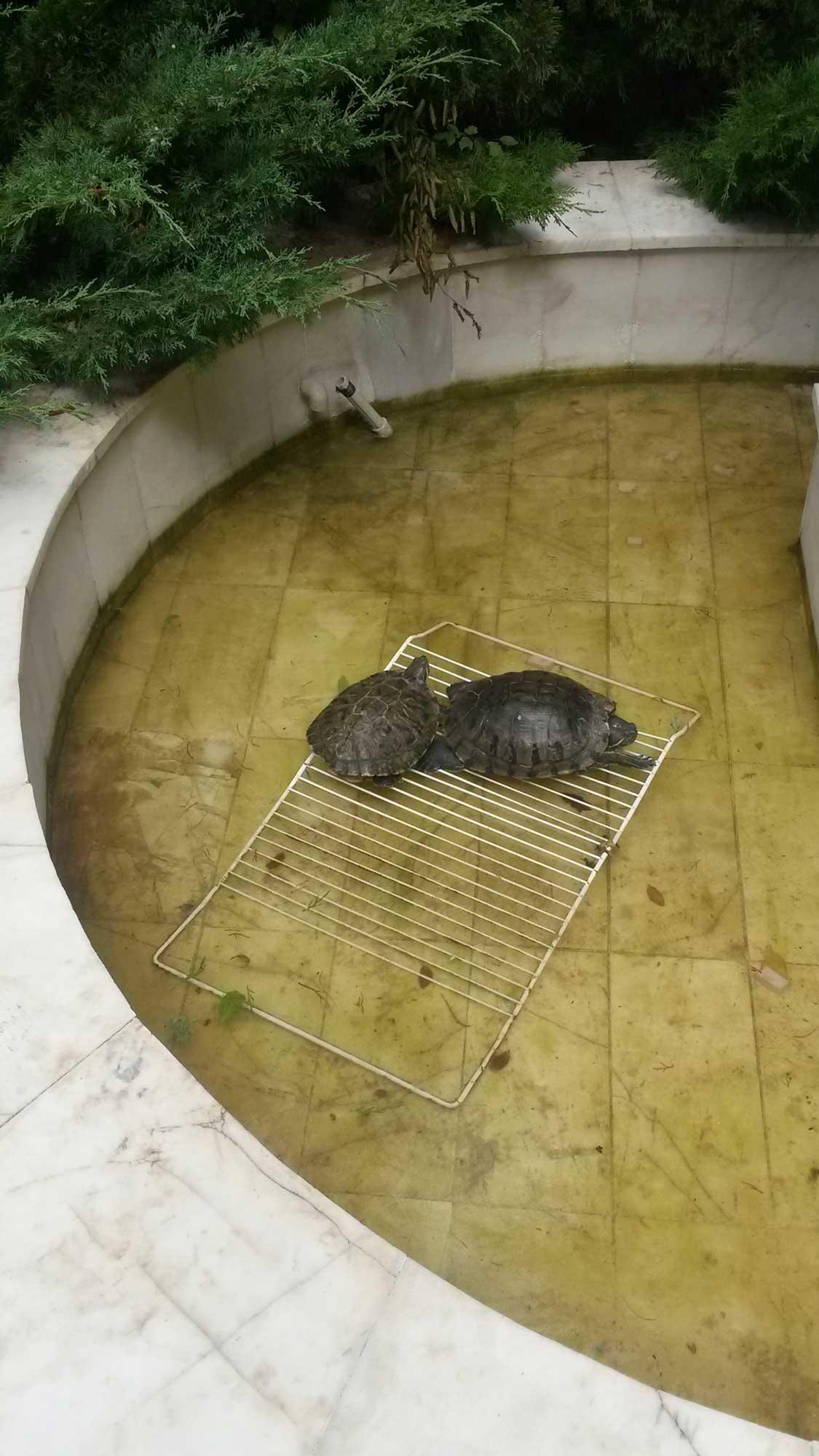 черепахи живут прямо в бассеине в отеле