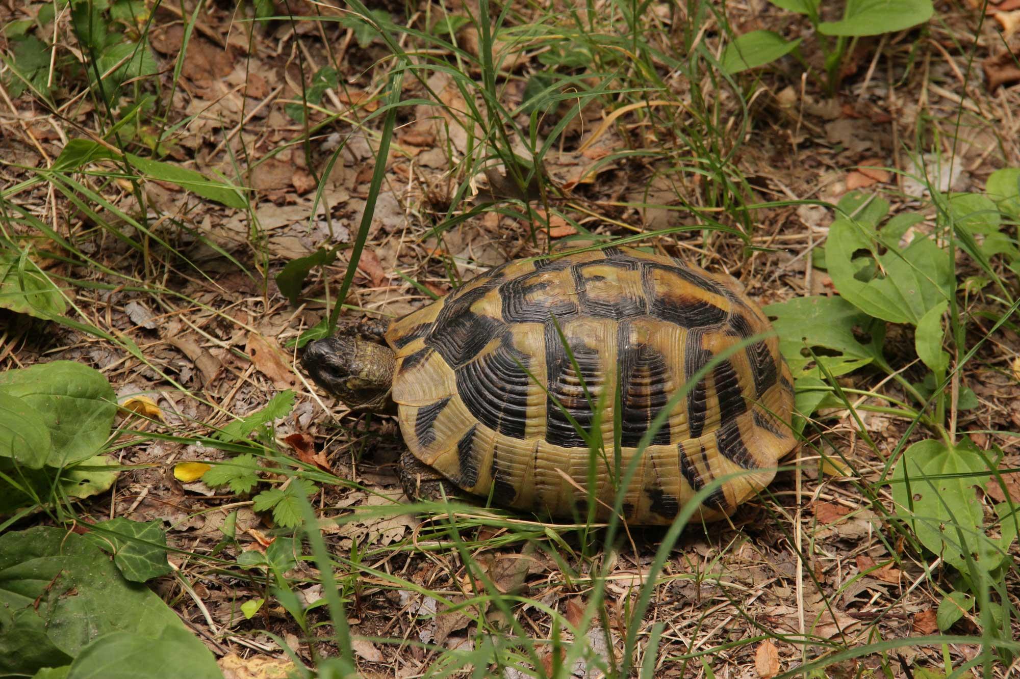 черепашка в гуще травы