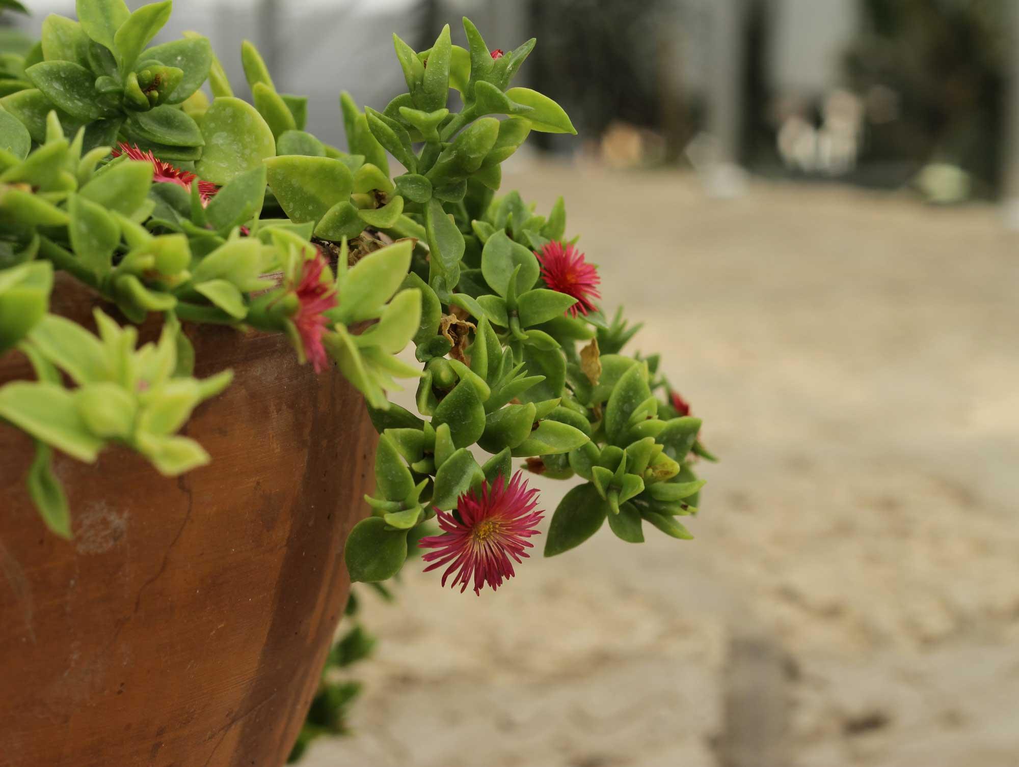 даже кактусы поражают цветением
