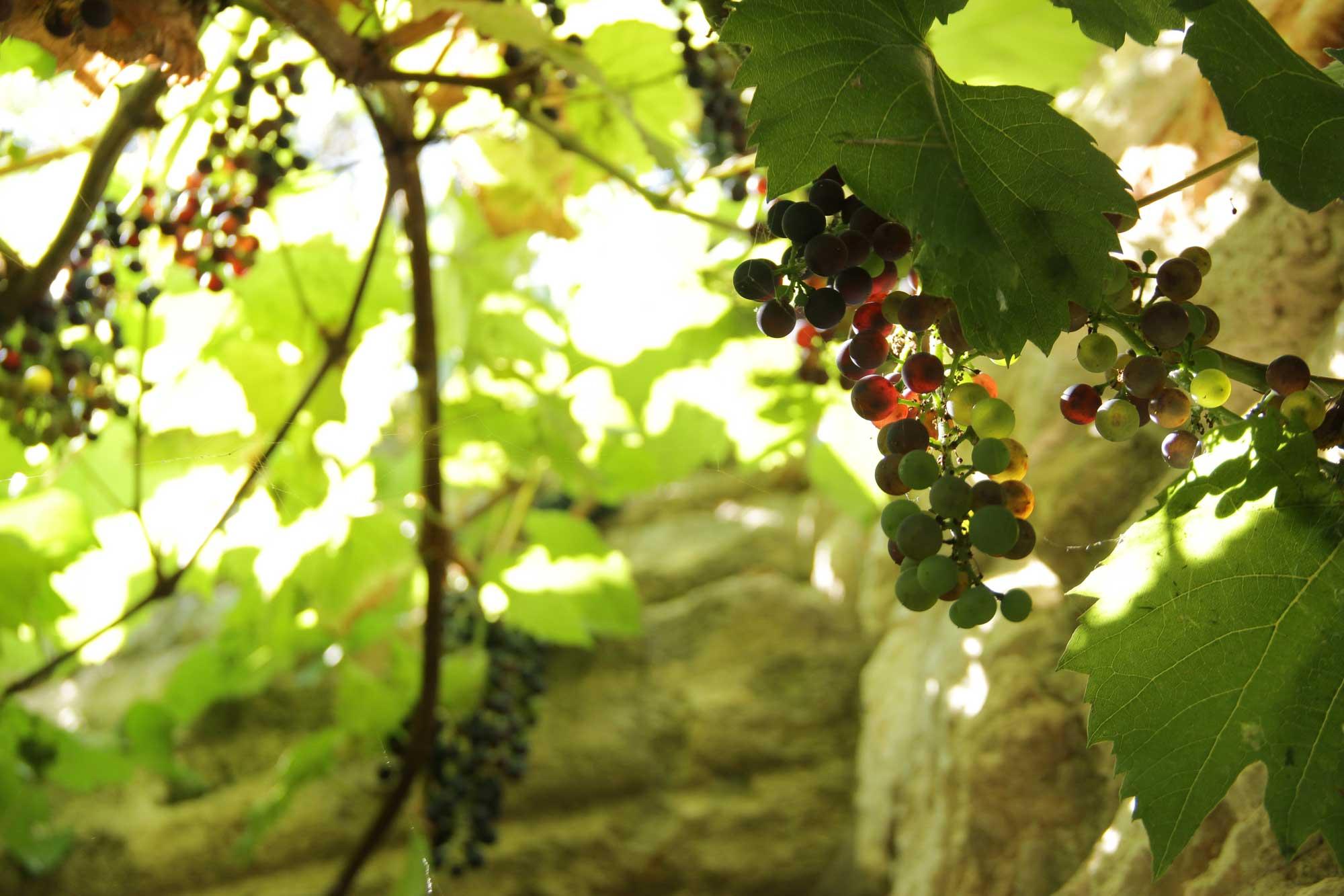 гроздья виногдрада в ресторане у башни