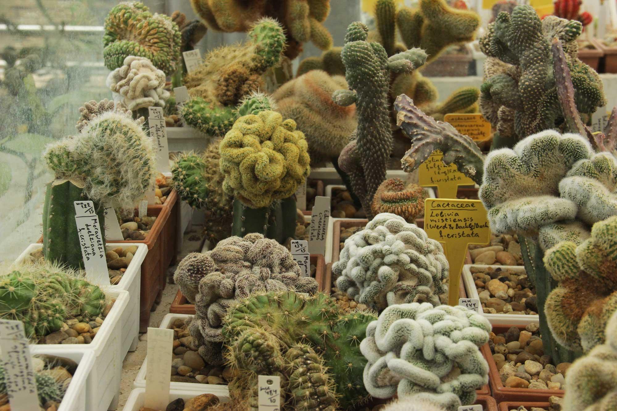 кактусы причудливых инопланетных форм