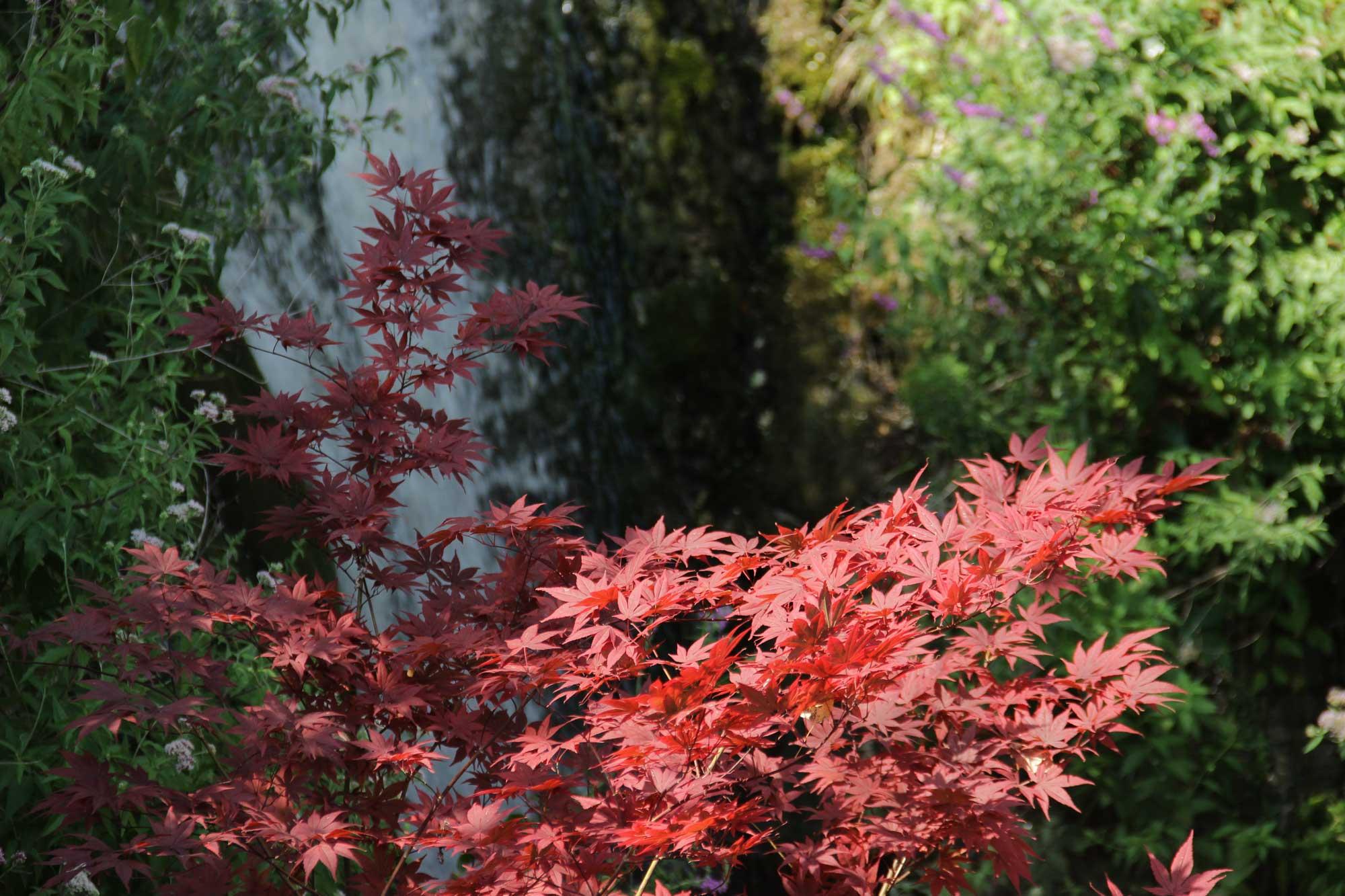 красный клён на фоне водопада