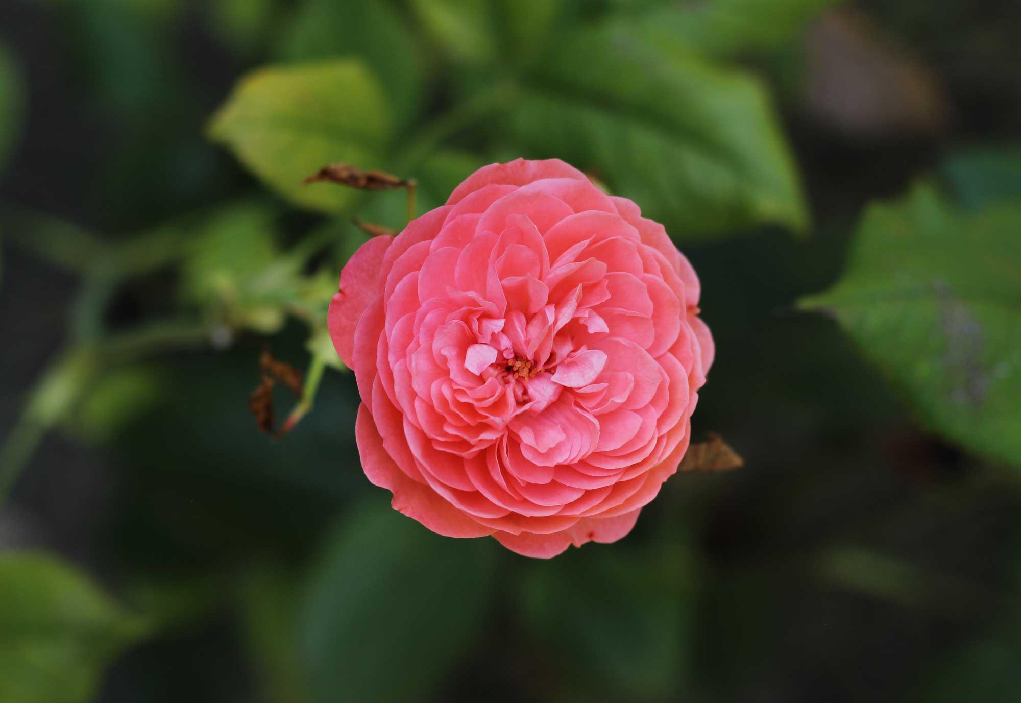 роза с мелкими лепестками