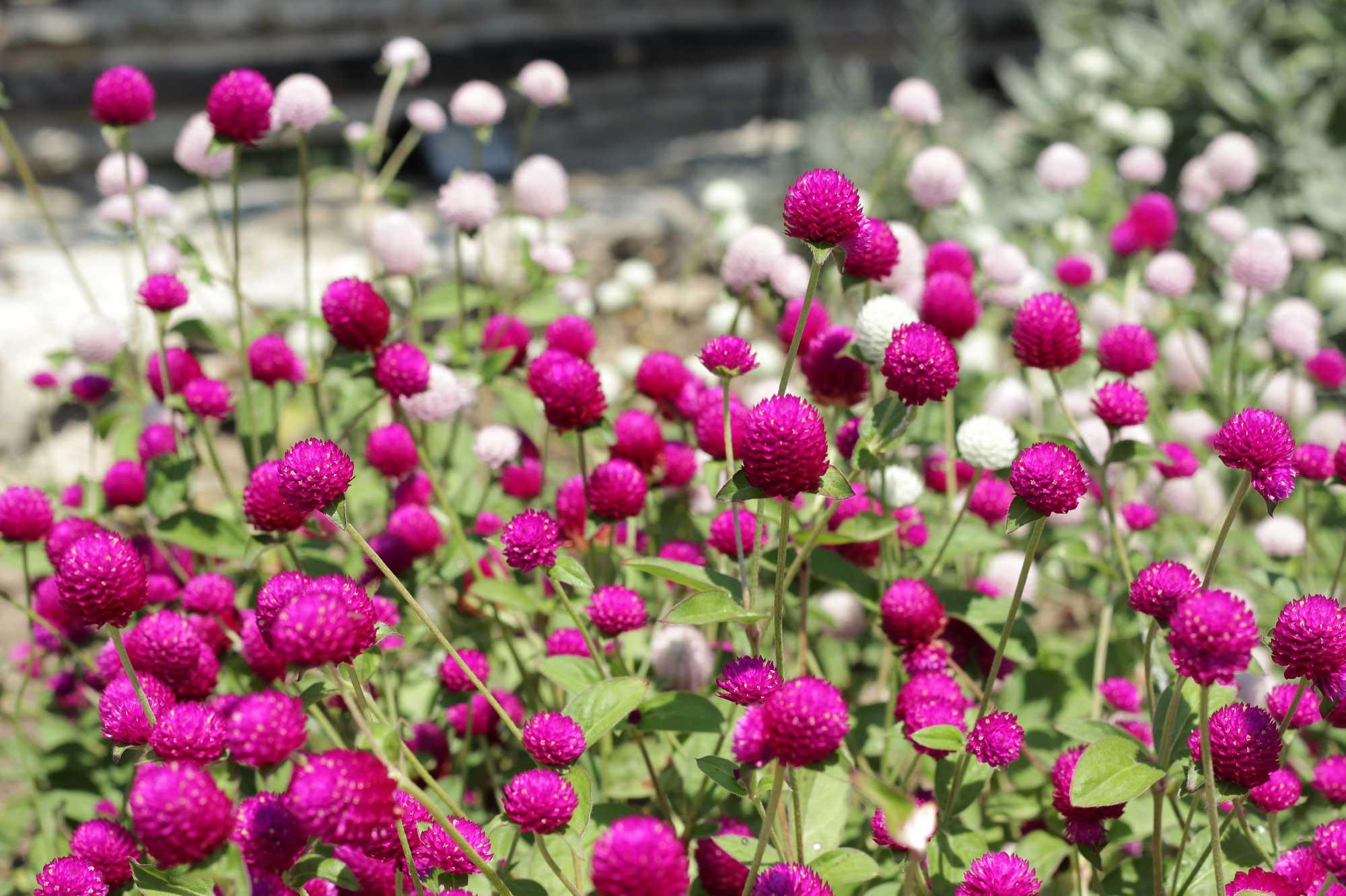 живой и сочный сухоцвет