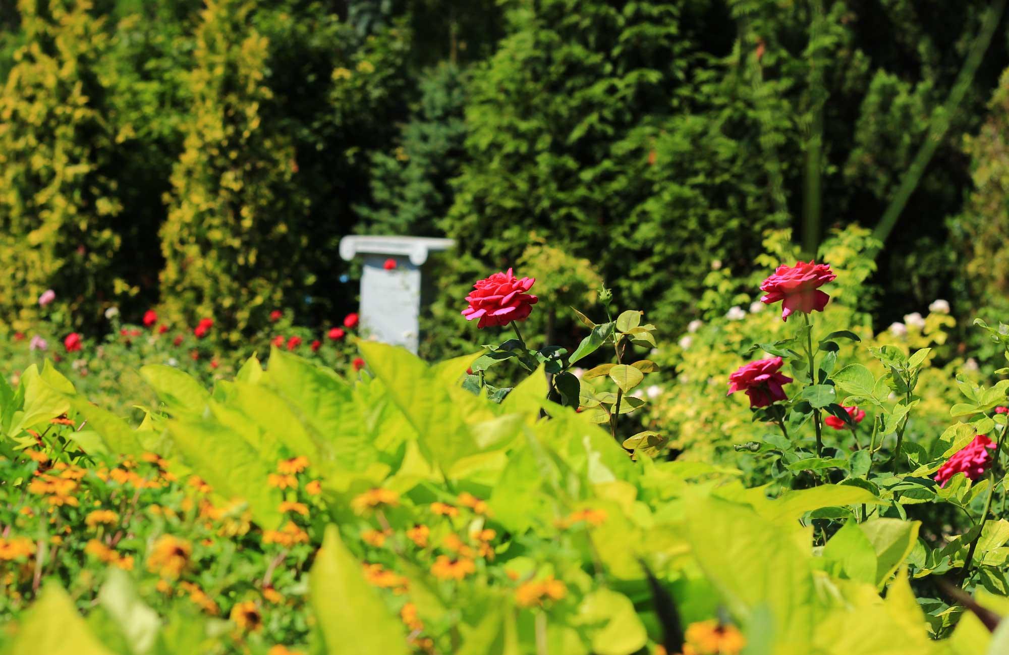 королевские розы в изобилии