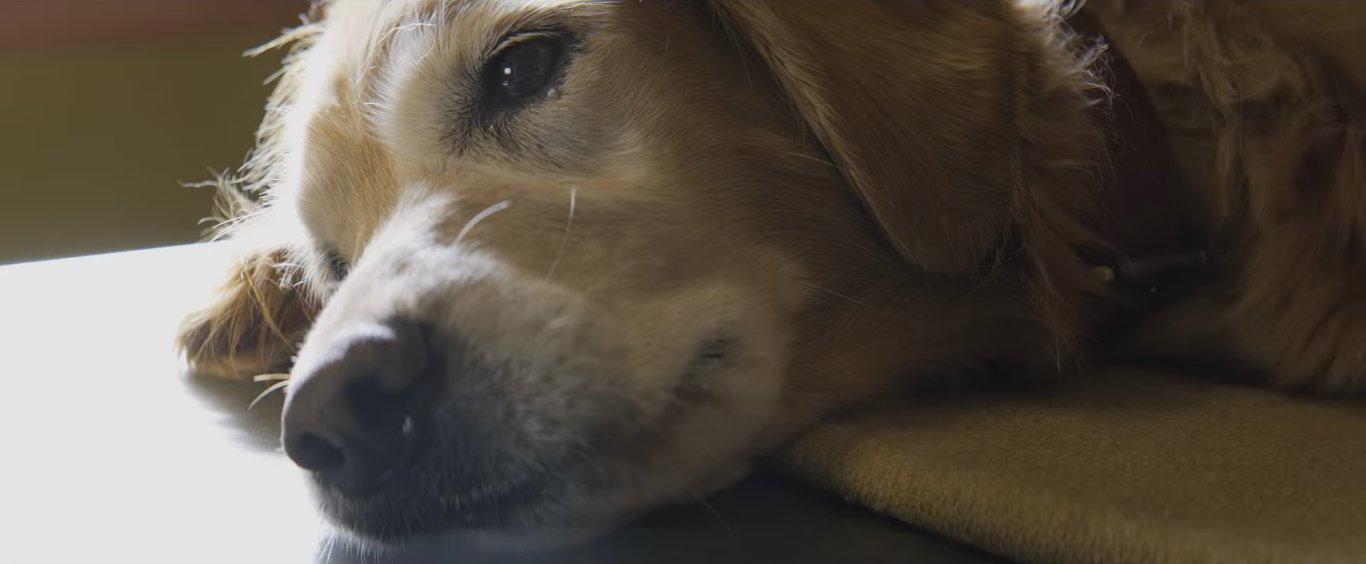 грусть умирающей собаки в глазах